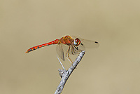 362750018 a wild male spot-winged meadowhawk sympetrum signiferum perches on a dead stick at empire creek las cienegas natural area cochise county arizona