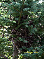 1B18-527z  Honeybees swarming to find new home, swarm mass on a tree branch, Apis mellifera