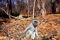 Vervet monkey  among fallen dead leaves in Zimbabwe
