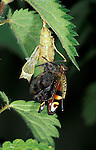 Peacock Butterfly, Inachis io, pupae or chrysalis, on stinging nettle, hatching sequence, emerging, wings crumpled.United Kingdom....