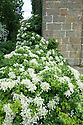 White climbing hydrangea allowed to trail and sprawl onto terrace at Clinton Lodge, Fletching, East Sussex.