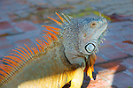 Iguana, Puerto Vallarta, Jalisco, Mexico
