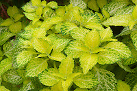 Solenostemon (Coleus) 'Dairy Maid' annual foliage plant in colorful shades of yellow and green leaves