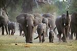 African elephants, Okavango Delta, Ngamiland, Botswana