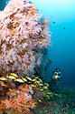 MR diver and reef covered with soft coral with schooling bigeye and snapper. Indian Ocean, Maldives.