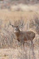 Trophy Wyoming whitetail buck in river bottom habitat