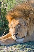 Lion, Serengeti National Park, Tanzania, East Africa