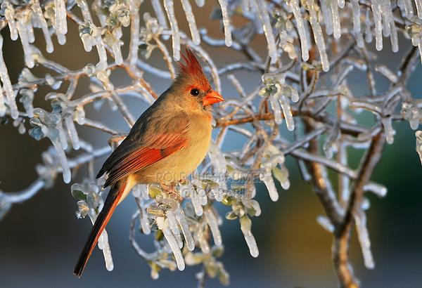 Northern Cardinal (Cardinalis cardinalis), female perched in ice covered bush, Dinero, Lake Corpus Christi, South Texas, USA