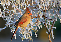 Northern Cardinal (Cardinalis cardinalis), female perched in ice covered bush, Dinero, Lake Corpus Christi, South Texas, USA