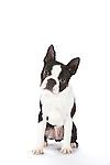 201102022Boston Terrier Pup