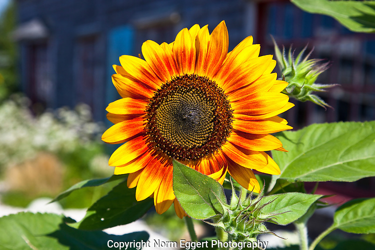 A bright yellow sunflower in a garden next to the Frying Pan Gallery in Wellfleet, Massachusetts