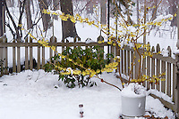 Hamamelis Pallida witchhazel in flower with Rhododendron, picket fence, winter snow