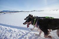Alaskan Huskies panting while dog-sledding at Villmarkssenter wilderness centre on Kvaloya Island, Tromso in Arctic Circle, Northern Norway