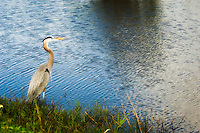 Great blue heron on the lookout in the Florida Everglades.