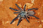 Tarantula (Monocentropus balfouri), endemic to Socotra, Yemen