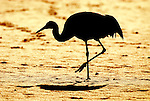 Red Crowned Crane, Grus japonensis, Displaying against rising sun, Hokkaido Island, japanese, Asian, cranes, tancho, crested, white, black,  wilderness, wild, untamed, photography, ornithology, silhouette, snow.Japan....
