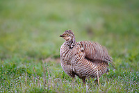 572110181 a wild female lesser prairie chicken tympanuchus pallidicinctus an endangered species at a lek on a ranch near canadian texas united states