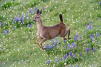 Columbian black-tailed deer (Odocoileus hemionus columbianus) doe running/jumping through subalpine meadow.  Olympic National Park, WA.  Summer.