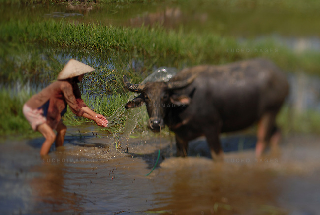 A woman treks through a muddy field with her water buffalo to wash them in Hoi An, Vietnam.