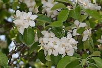 Apfel, Apfelbaum, Apfelblüte, Kultur-Apfel, Malus domestica, Apple, Obstbaum