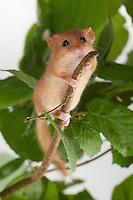 Haselmaus, Hasel-Maus, Muscardinus avellanarius, hazel dormouse, common dormouse, Schläfer, Schlafmäuse, Bilche, Bilch, Gliridae, dormice