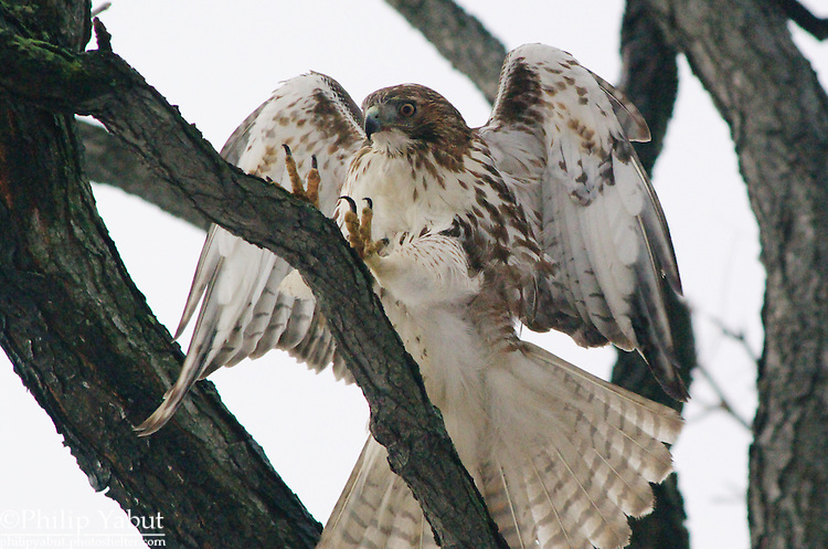 A juvenile red-tailed hawk (Buteo jamaicensis) reaches for a branch in Lafayette Square, Washington, DC.