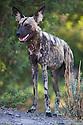 African wild dog (Lycaon pictus) standing in forest, portrait, Botswana, Okavango Delta, Moremi Game Reserve