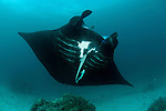 A parade of giant manta rays (Manta birostris) at a cleaning station.