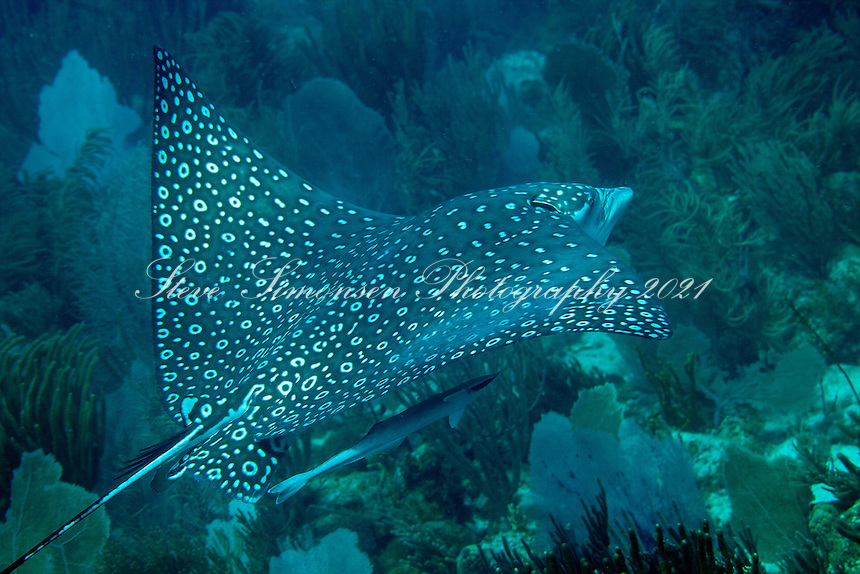 Spotted Eagle Ray<br /> Virgin Islands