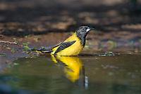 561850023 a wild brilliant yellow audubon's oriole icterus graduacauda bathes in a small pond on beto gutierrez santa clara ranch hidalgo county lower rio grande valley texas united states