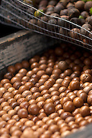 Freshly harvested macadamia nuts from Maui