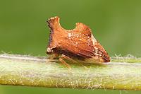 Treehopper (Entylia carinata), West Harrison, Westchester County, New York