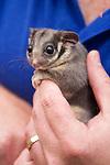 342 Australia's Forest Marsupials