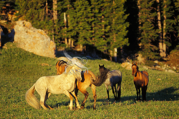 Wild Horse herd stallion (Cloud--white one) tries to maintain dominance with three bachelor stallions.  Pryor Mountains, Montana.  Summer..(Equus caballus)