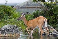 Moose, Deer