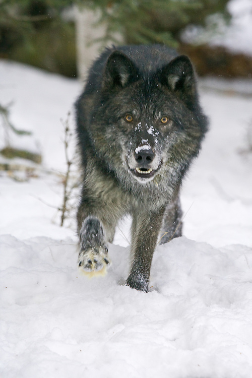 Grey Wolf walking in the snow - CA