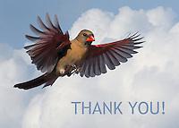 Female Cardinal thank you card.