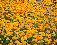 Detail of Mexican Gold Poppies blooming on spring Sonoran desert floor
