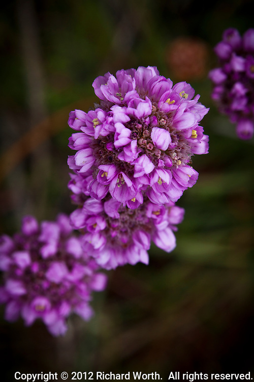 Close-up the multiple flowers atop Armeria maritima, common names sea thrift and California seapink, at Bean Hollow State Beach.