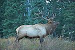 Wildlife - Elk, Rocky Mountain