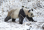 Giant Panda, Ailuropoda melanoleuca, covered in snow, walking in snowy landscape, Wolong Research and Conservation Centre, Sichuan (Szechwan) Province Central China, can handle bamboo with great dexterity with extended sesamoid bone in wrist which acts like false thumb, reserve, breeding centre, captive, captivity, asia, asian, black, white, chinese, fur, furry, bears, pandas, patterns, omnivores, snow.China....