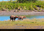 Alaskan Coastal Brown Bear Cubs, Silver Salmon Creek, Lake Clark National Park, Alaska