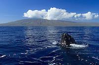 Humpback whale and Lanai, Hawaii.