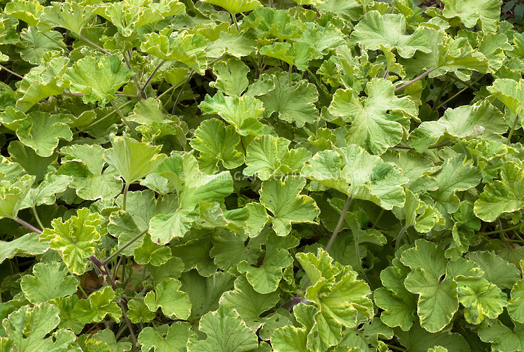 Scented geranium atomic snowflake plant flower stock for Planting lemon seeds for smell