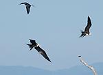 Immature magnificent frigatebirds, Fregata magnificens, near the mouth of the Tarcoles River, Costa Rica