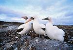 Masked booby, Galapagos Islands, Ecuador