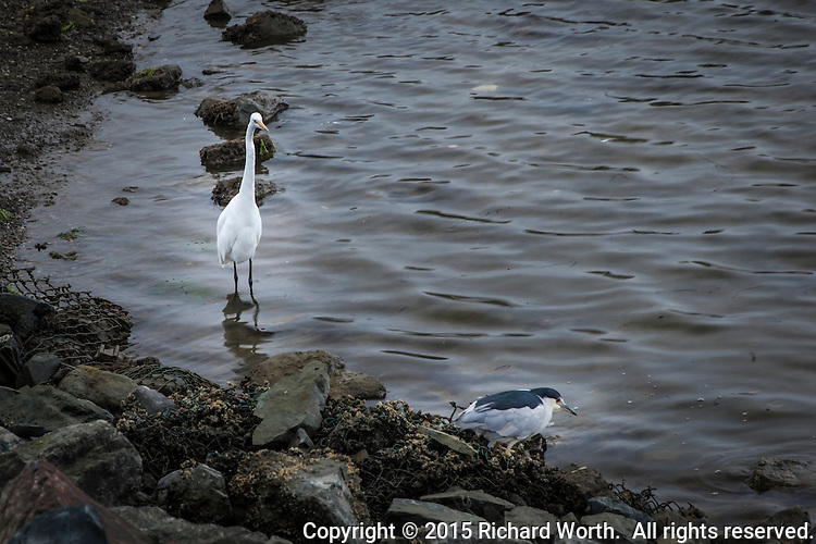 A Great egret and a Black-crowned night heron, searching for food, share the rocky shoreline at the San Leandro Marina on San Francisco Bay.