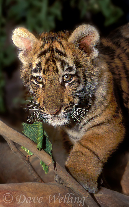 683999196 a bengal tiger cub panthera tigris stands on fallen tree limbs - species is native to indian subcontinent and is highly endangered in the wild due to habitat loss and poaching - this animal is a wildlife rescue