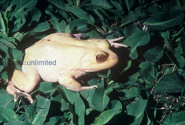 Albino Bullfrog (Rana catesbeiana), USA.