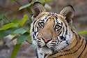 11 months old Bengal tiger cub, close-up, dry season, April